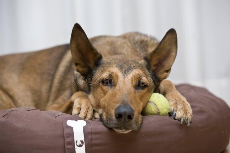 Belgisches Malinois, das auf Tenniskugel schläft stockfotos