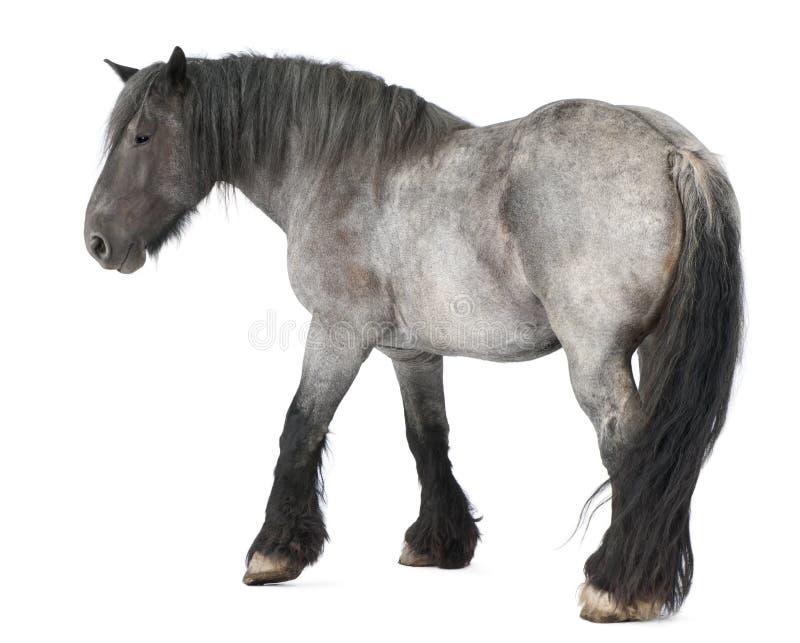 Belgisches Pferd, belgisches schweres Pferd, Brabancon stockfotografie