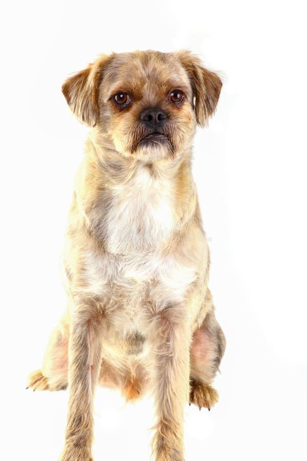 belgium granicy trakenu collie pies mieszająca baca zdjęcia stock