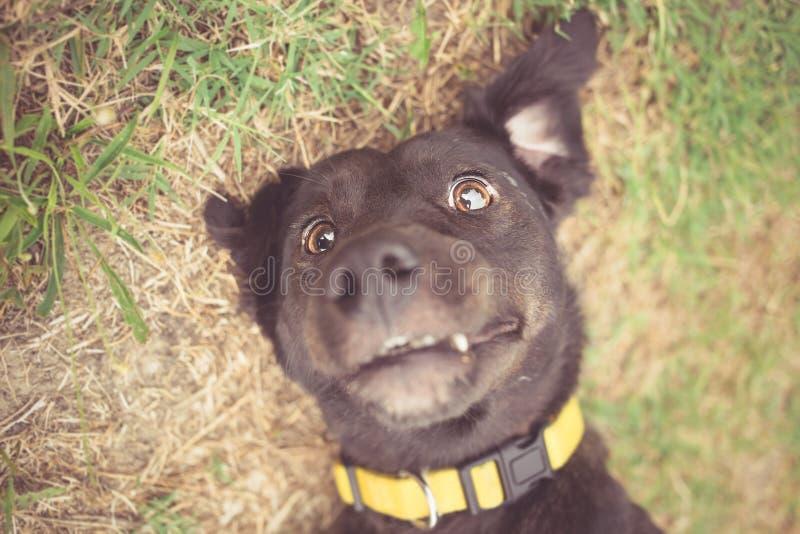 belgium granicy trakenu collie pies mieszająca baca fotografia stock
