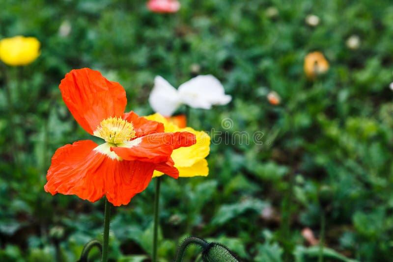 Belgium poppies royalty free stock photo