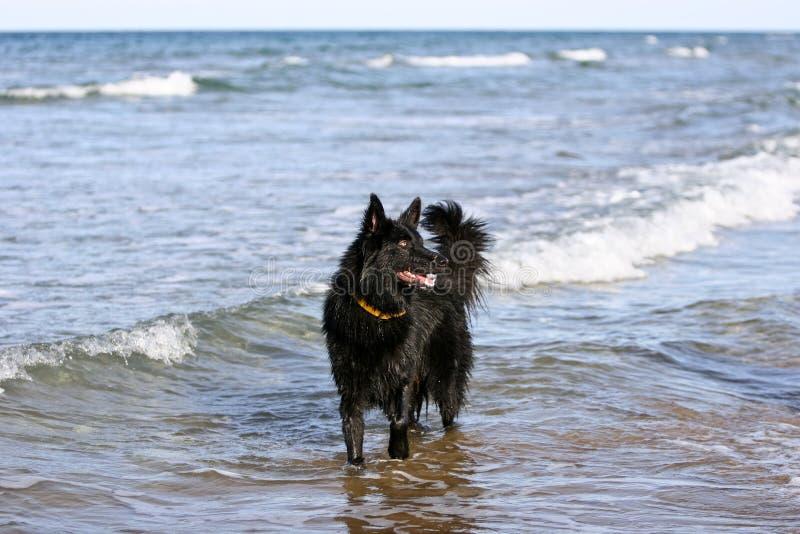 Download Belgium shepherd dog stock photo. Image of tongue, front - 9532336