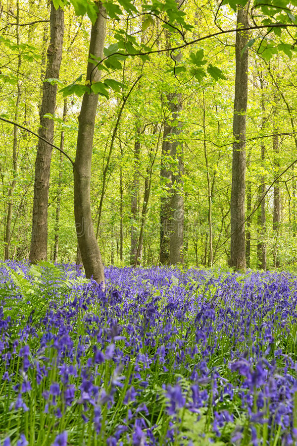 Belgium, Vlaanderen Flanders, Halle. Bluebell flowers Hyacint. Hoides non-scripta carpet hardwood beech forest in early spring in the Hallerbos forest stock photos