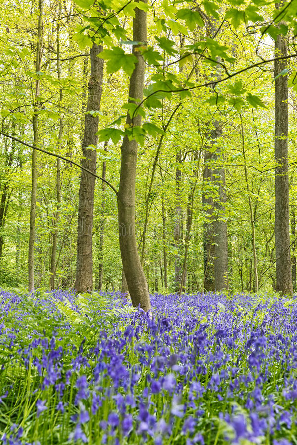 Belgium, Vlaanderen Flanders, Halle. Bluebell flowers Hyacint. Hoides non-scripta carpet hardwood beech forest in early spring in the Hallerbos forest royalty free stock images