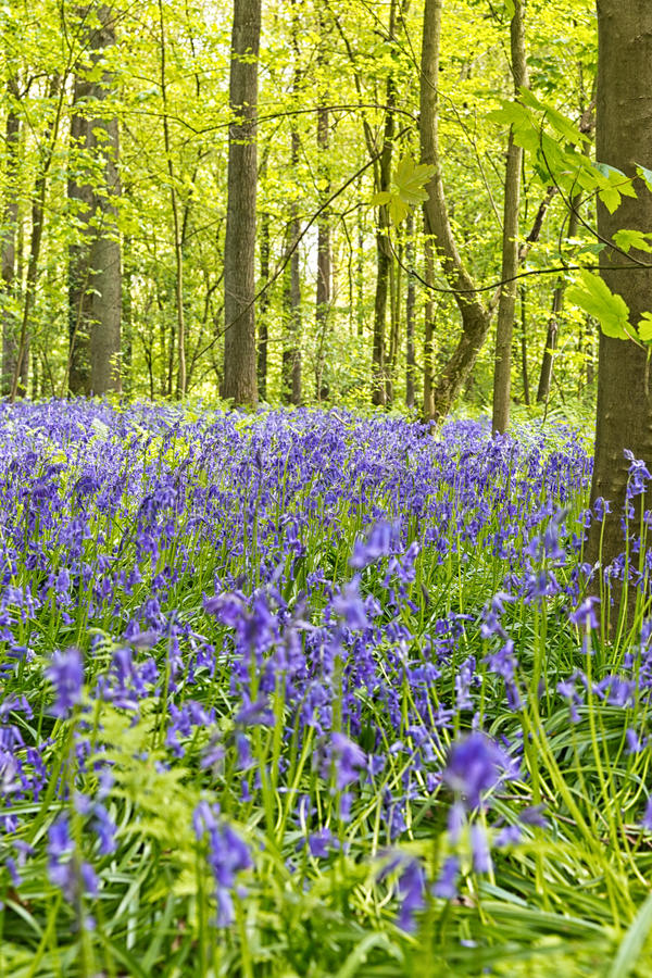 Belgium, Vlaanderen Flanders, Halle. Bluebell flowers Hyacint. Hoides non-scripta carpet hardwood beech forest in early spring in the Hallerbos forest stock image