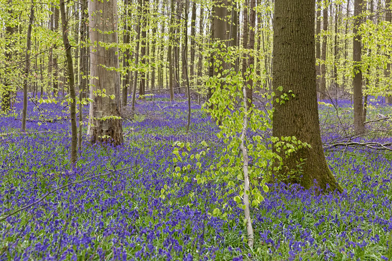 Belgium, Vlaanderen Flanders, Halle. Bluebell flowers Hyacint. Hoides non-scripta carpet hardwood beech forest in early spring in the Hallerbos forest stock photo