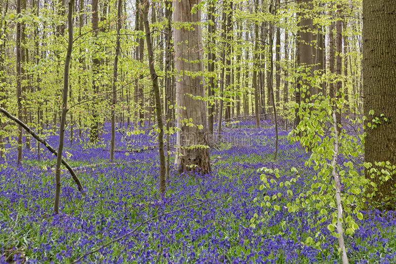 Belgium, Vlaanderen Flanders, Halle. Bluebell flowers Hyacint. Hoides non-scripta carpet hardwood beech forest in early spring in the Hallerbos forest stock photography