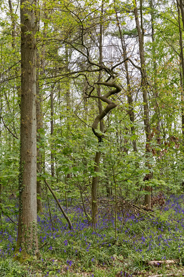 Belgium, Vlaanderen Flanders, Halle. Bluebell flowers Hyacint. Hoides non-scripta carpet hardwood beech forest in early spring in the Hallerbos forest royalty free stock photo