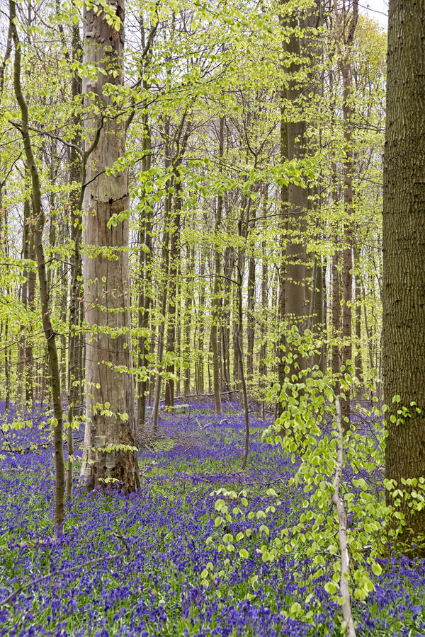 Belgium, Vlaanderen Flanders, Halle. Bluebell flowers Hyacint. Hoides non-scripta carpet hardwood beech forest in early spring in the Hallerbos forest royalty free stock photos