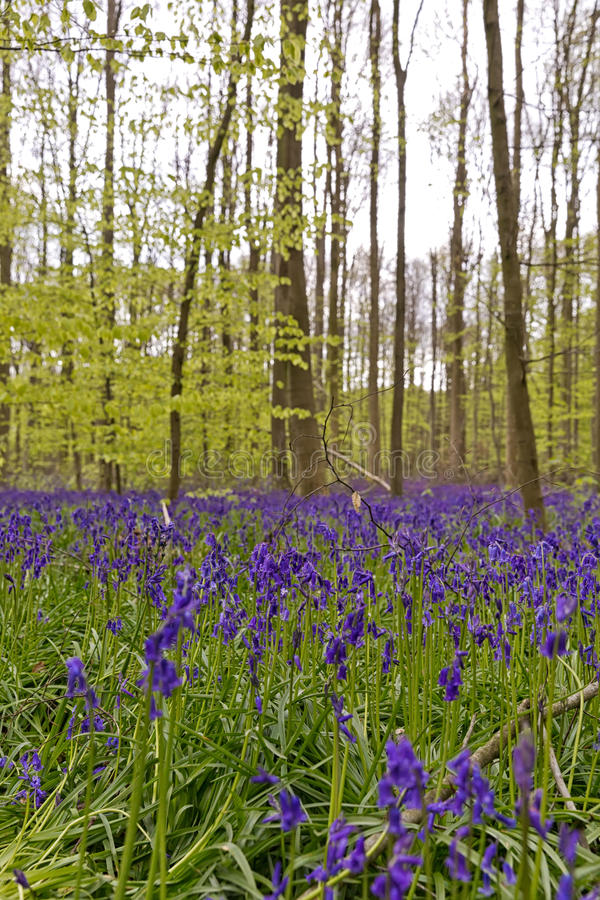 Belgium, Vlaanderen Flanders, Halle. Bluebell flowers Hyacint. Hoides non-scripta carpet hardwood beech forest in early spring in the Hallerbos forest royalty free stock photography