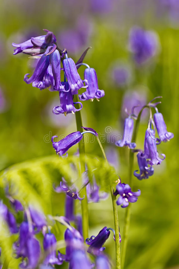 Belgium, Vlaanderen Flanders, Halle. Macro photo of Bluebell f. Lowers Hyacinthoides non-scripta carpet hardwood beech forest in early spring in the Hallerbos royalty free stock image