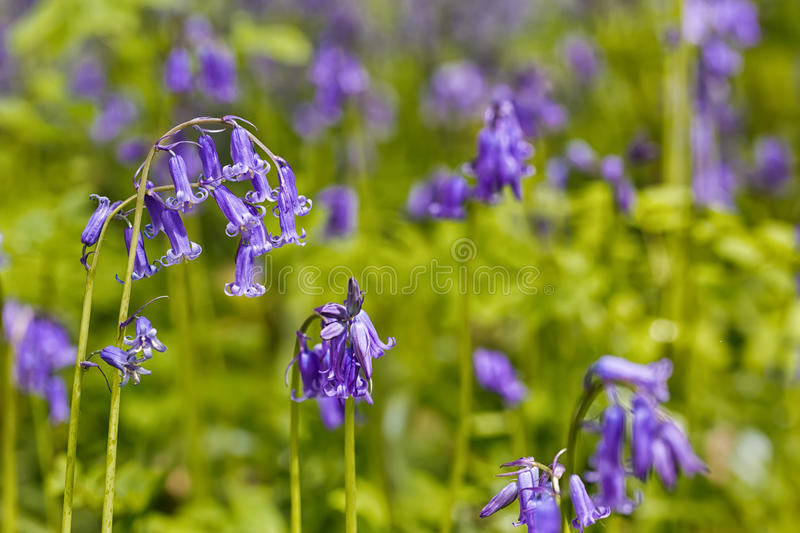 Belgium, Vlaanderen Flanders, Halle. Macro photo of Bluebell f. Lowers Hyacinthoides non-scripta carpet hardwood beech forest in early spring in the Hallerbos royalty free stock photos