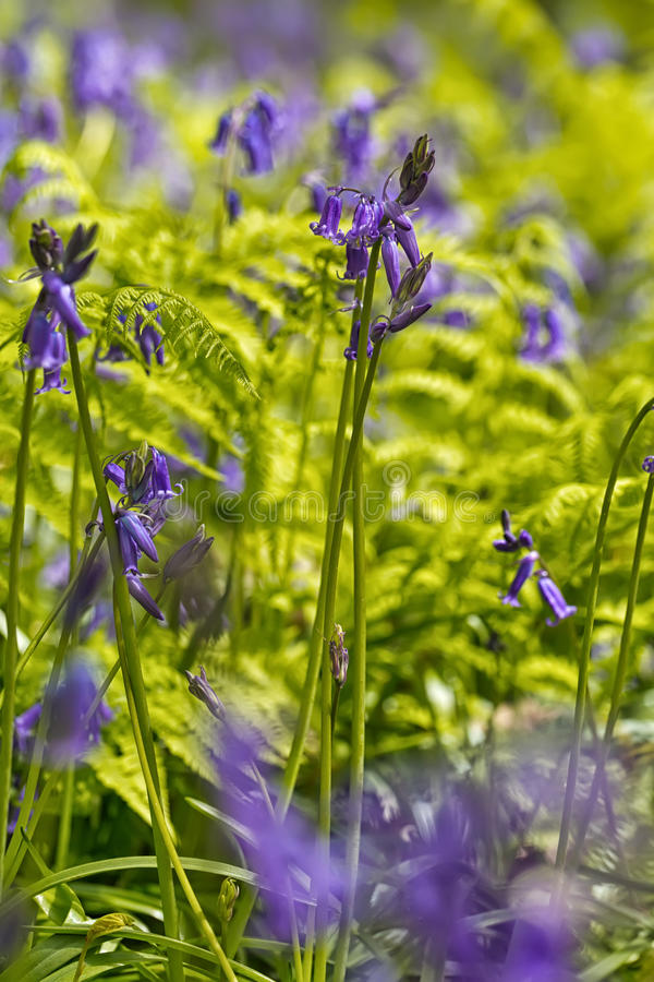 Belgium, Vlaanderen Flanders, Halle. Macro photo of Bluebell f. Lowers Hyacinthoides non-scripta carpet hardwood beech forest in early spring in the Hallerbos stock photo
