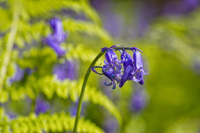 Belgium, Vlaanderen Flanders, Halle. Macro photo of Bluebell f. Lowers Hyacinthoides non-scripta carpet hardwood beech forest in early spring in the Hallerbos stock images