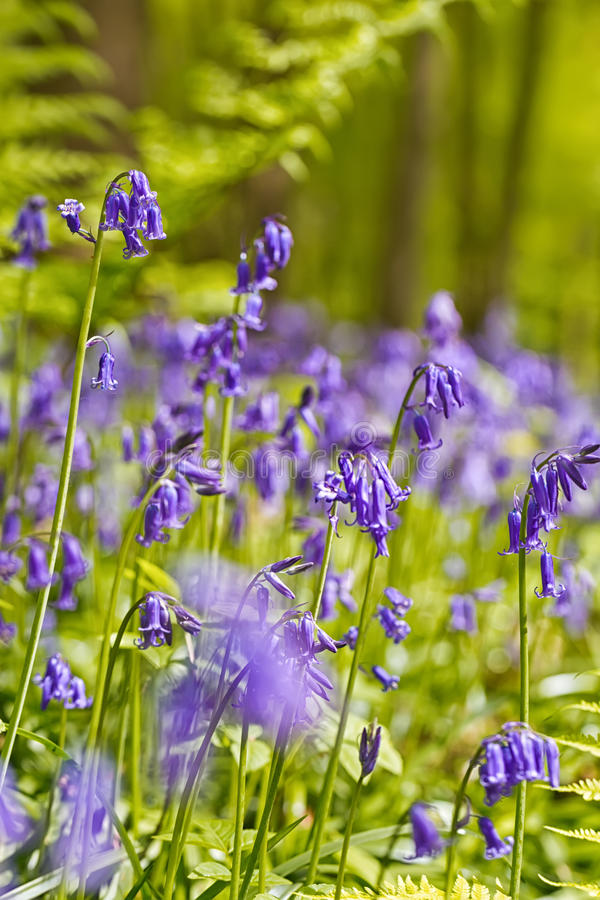 Belgium, Vlaanderen Flanders, Halle. Macro photo of Bluebell f. Lowers Hyacinthoides non-scripta carpet hardwood beech forest in early spring in the Hallerbos stock photography