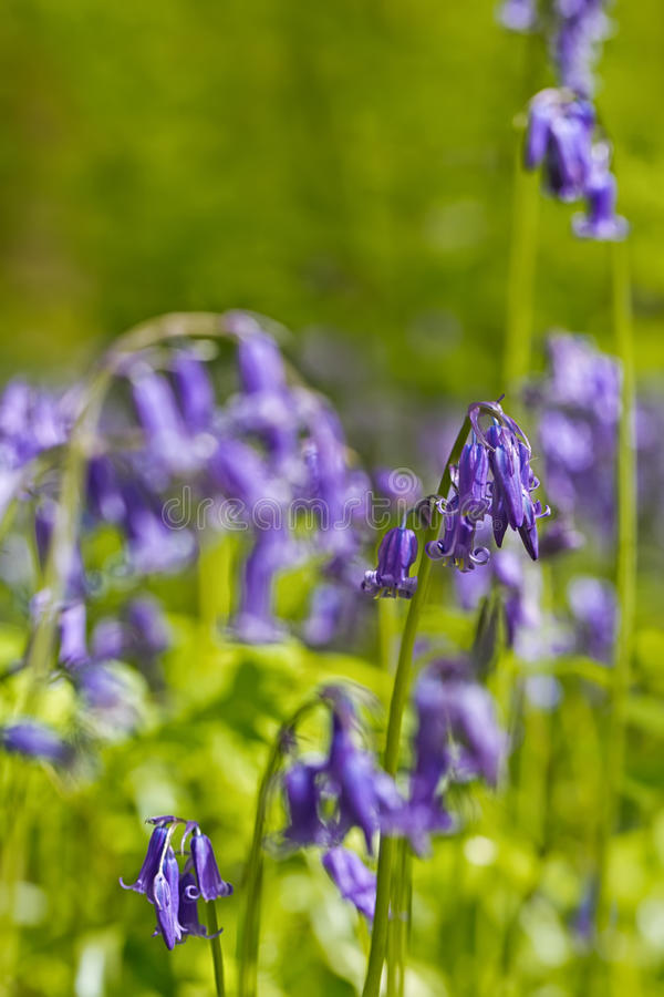 Belgium, Vlaanderen Flanders, Halle. Macro photo of Bluebell f. Lowers Hyacinthoides non-scripta carpet hardwood beech forest in early spring in the Hallerbos stock image