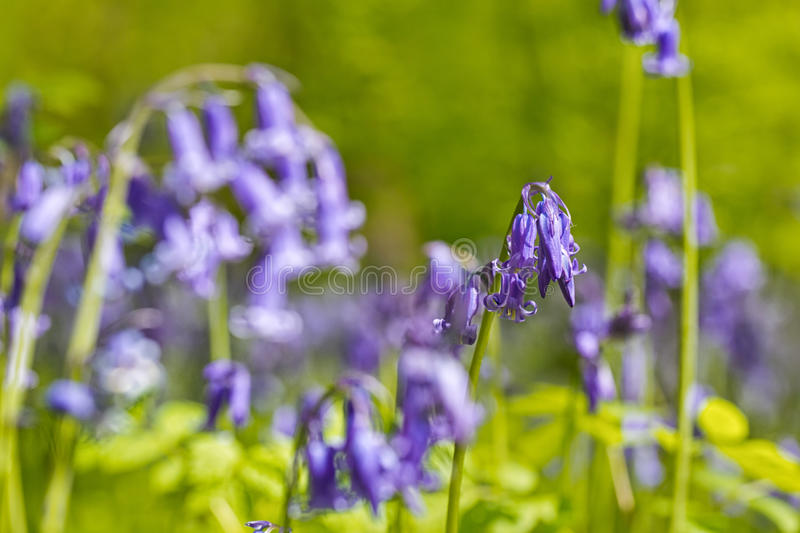 Belgium, Vlaanderen Flanders, Halle. Macro photo of Bluebell f. Lowers Hyacinthoides non-scripta carpet hardwood beech forest in early spring in the Hallerbos royalty free stock images