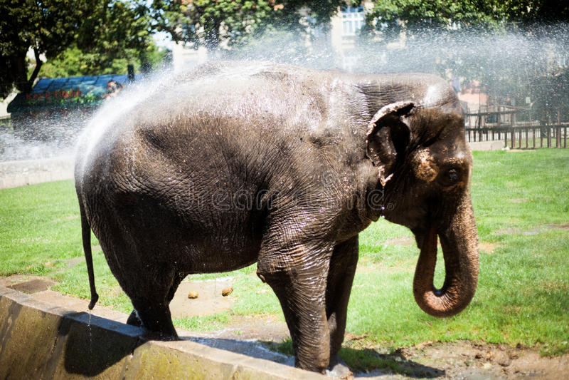 Belgrado, Sérvia - 30 de junho de 2017: Elefante que tem o divertimento com tomada do chuveiro no jardim zoológico de Belgrado foto de stock