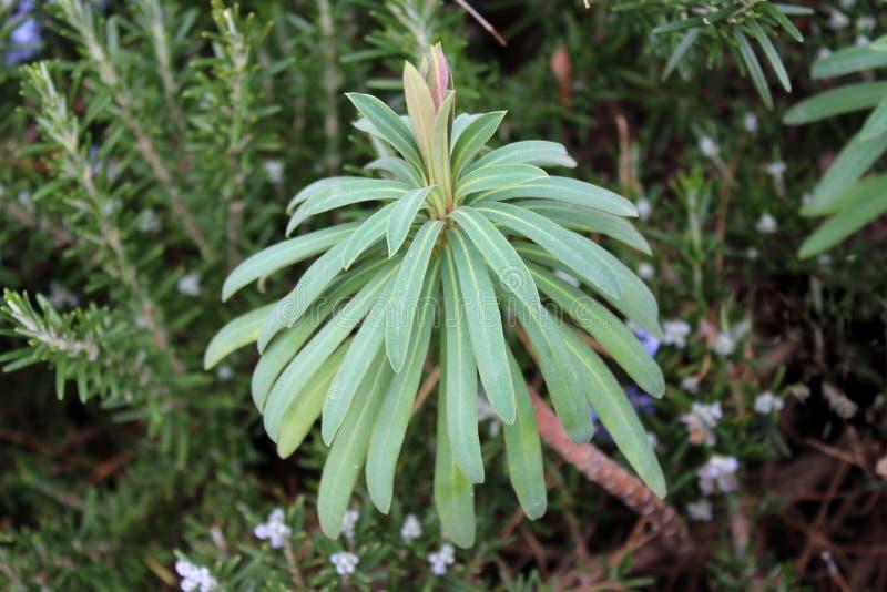 Belhi dei laevis di Moluccella o dell'Irlanda fioriscono le foglie fotografia stock libera da diritti