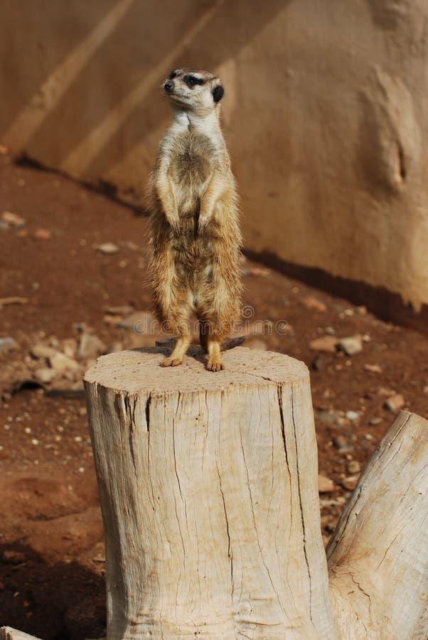 Download Beli meerkat zdjęcie stock. Obraz złożonej z ostrzeżenie - 13327844