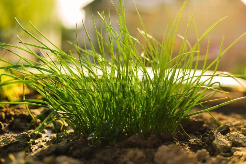 Belichtete neues Schnittlauchbündel im Boden im Garten - Frühlingszeit Schnittlauche blühen/Anlagenwilde Schnittlauche, blühe lizenzfreie stockfotos