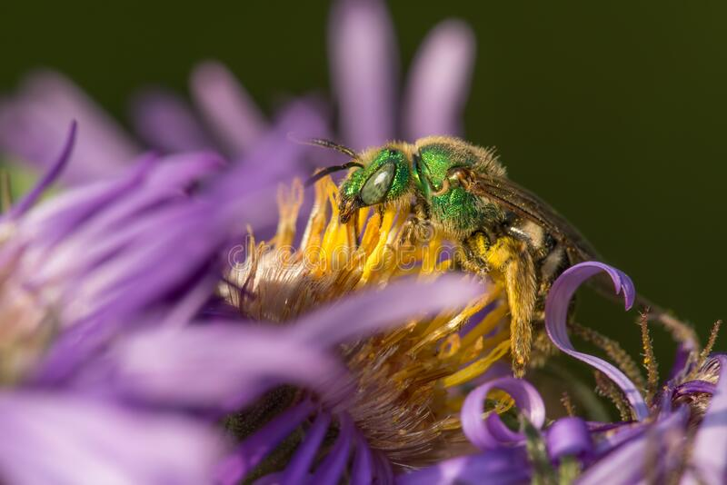 Believe this is a splendid metallic green bee - on a wildflower in the Eloise Butler Wildflower Garden in Minneapolis, Minnesota.  stock photo
