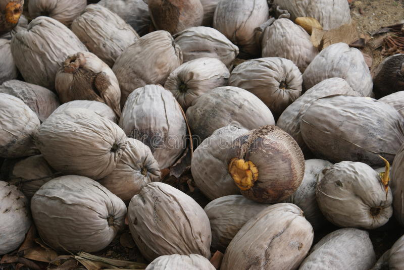 Belize-Kokosnüsse stockbilder