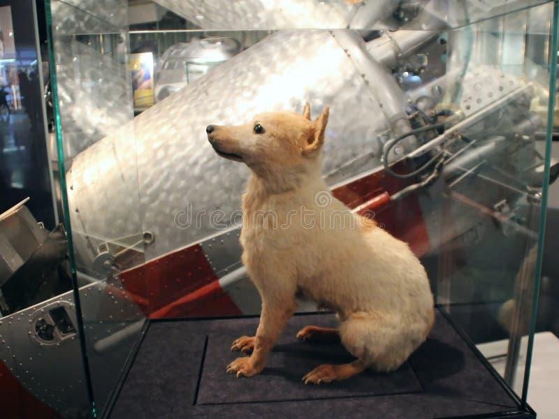 Belka Um dos cães, retornado primeiramente à terra do espaço imagem de stock