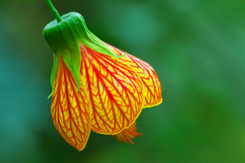Download Bell Flower Or Red Veined Abutilon Stock Photo - Image: 11603864