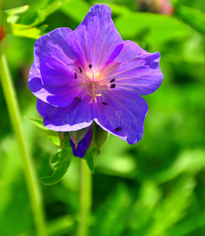Free Bell Flower Royalty Free Stock Photo - 9414495