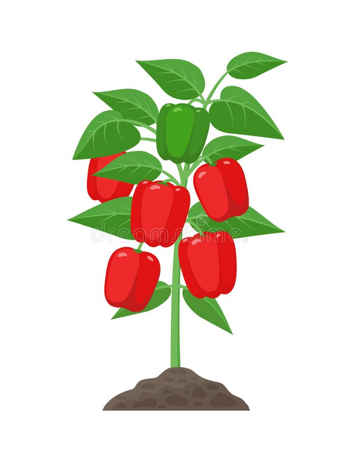 Bell pepper plant with ripe fruits growing in the ground vector illustration isolated on white background. Red juicy. Sweet peppers in the plant vector illustration
