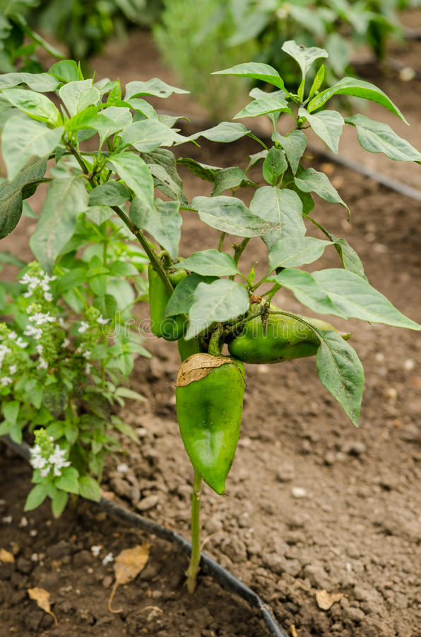 Bell pepper splants stock photography