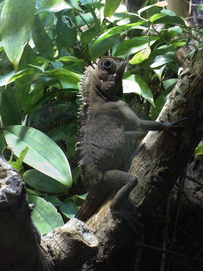 Bell`s angle head lizard Gonocephalus bellii stock photos