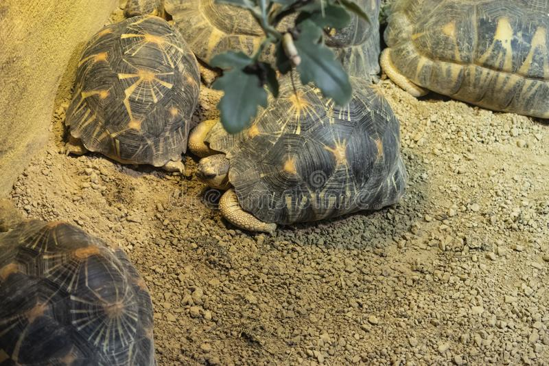 Bell's hinge-back tortoise. (kinixys belliana, bells, turtle, reptile, animal, shell, zoo, africa, african, wild, wildlife, hinged, tortoises stock photo