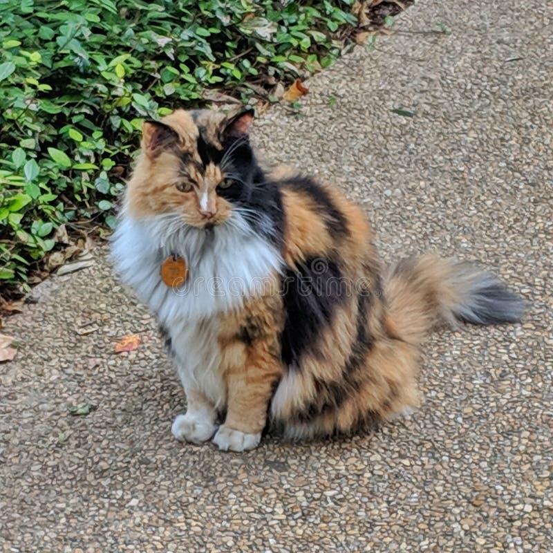 Bella, должностное лицо кошачье Alamo стоковые фото