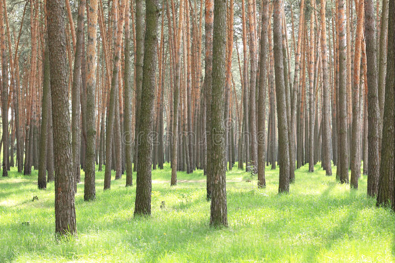 Bella abetaia con i grandi pini e il insummer dell'erba verde immagine stock libera da diritti
