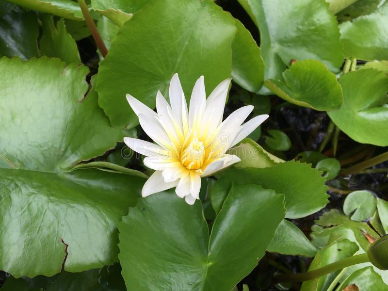 Bella acqua bianca Lilly fotografia stock