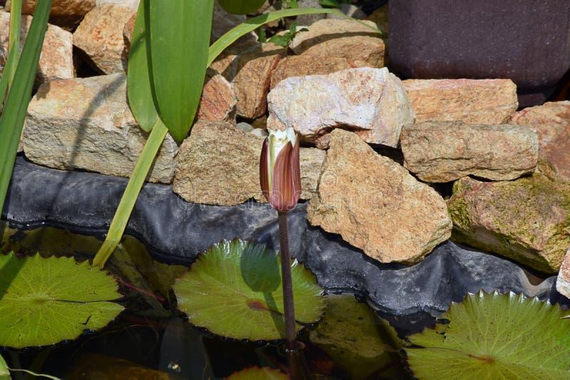Bella acqua variopinta lilly nel mio stagno del giardino fotografia stock libera da diritti