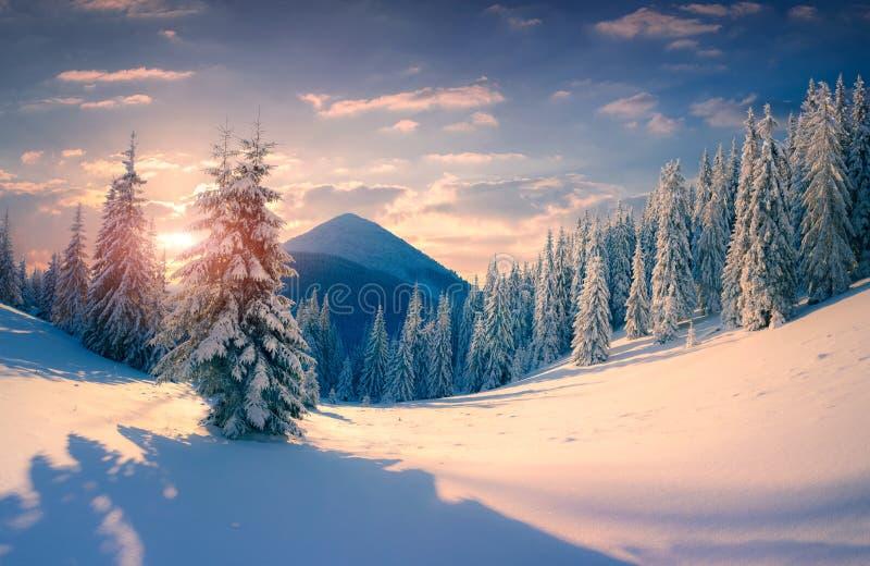 Bella alba di inverno con gli alberi innevati nella montagna immagine stock libera da diritti