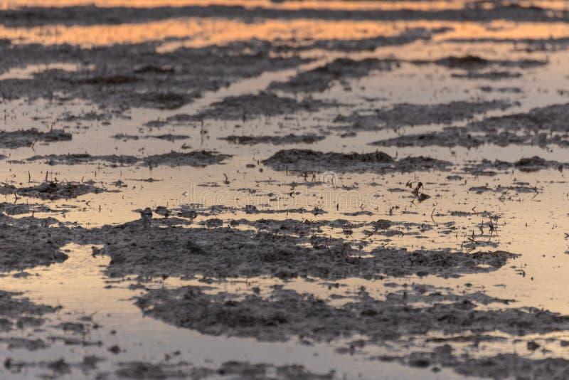 Bella alba dorata in un campo sommerso nel parco naturale di Albufera, Valencia, Spagna, Europa Magico e naturale fotografia stock
