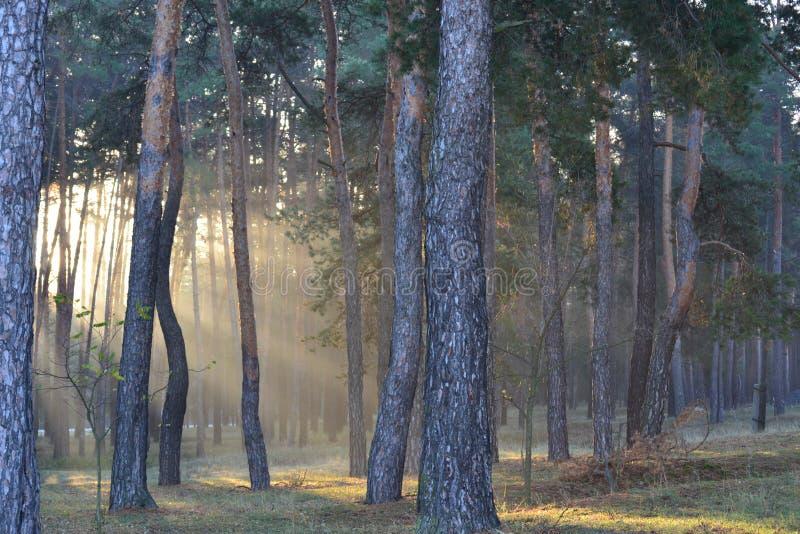 Bella alba soleggiata in un'abetaia fotografia stock libera da diritti