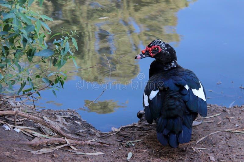bella anatra dal lago sulla riva del lago fotografia stock