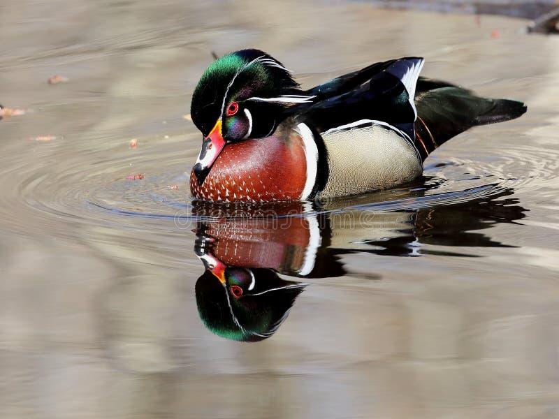 Bella anatra di legno maschio con la riflessione in acqua immagine stock libera da diritti