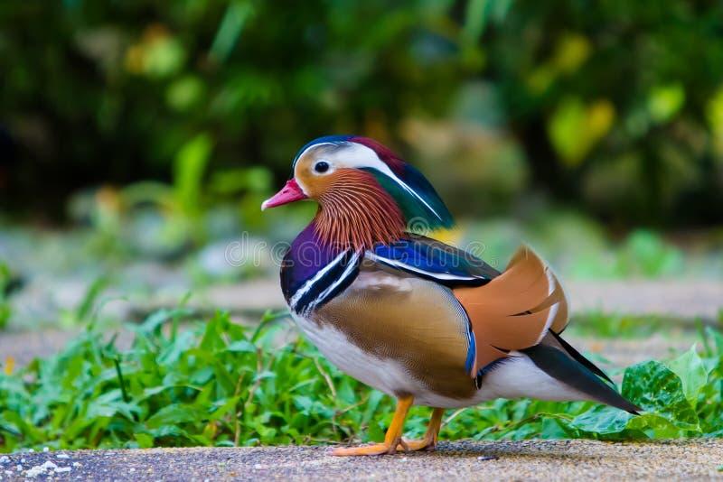Bella anatra di mandarino maschio fotografia stock