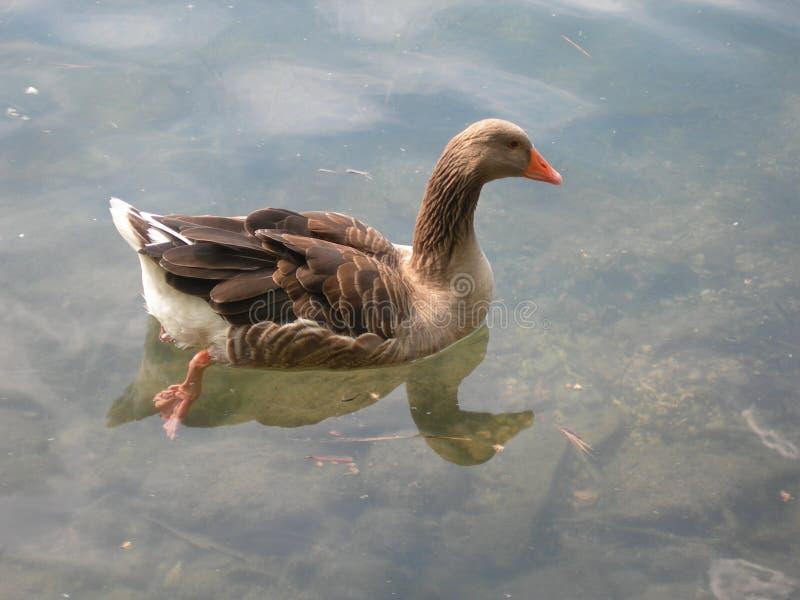 Bella anatra rilassata in un'acqua calma ed in un lago cristallino nell'ambito della luce solare fotografia stock