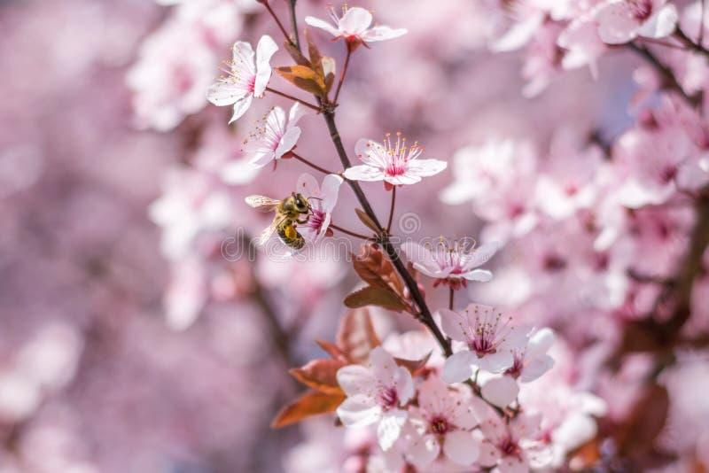 Bella ape del miele che impollina i fiori rosa della ciliegia immagine stock