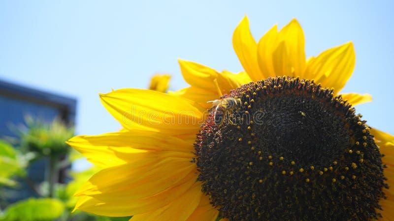 Bella ape del miele che raccoglie nettare dalla fine capa grande del girasole giallo luminoso e vistoso su fotografia stock libera da diritti