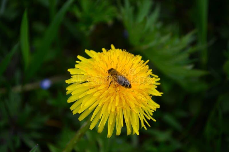 Bella ape gialla del miele e del dente di leone in un campo verde immagini stock libere da diritti