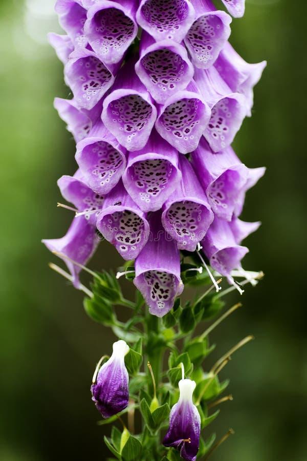 Bella arte macra del fondo de la familia del Plantaginaceae de la dedalera de Purpurea de la digital de la flor salvaje en los pr imágenes de archivo libres de regalías