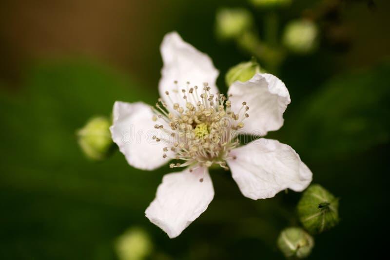 Bella arte macra del fondo de la familia del Rosaceae de los occidentalis del Rubus de la flor en los productos de alta calidad d fotos de archivo